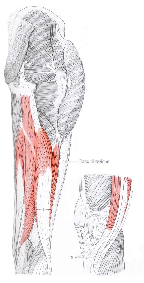 muscoli flessori