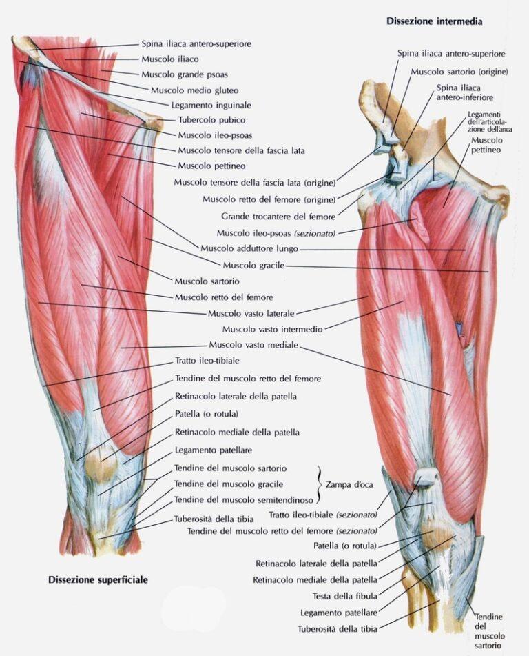 I muscoli estensori del ginocchio