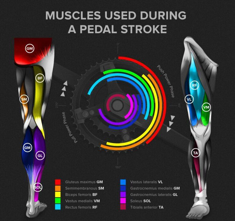 Quali muscoli sono coinvolti durante la pedalata?